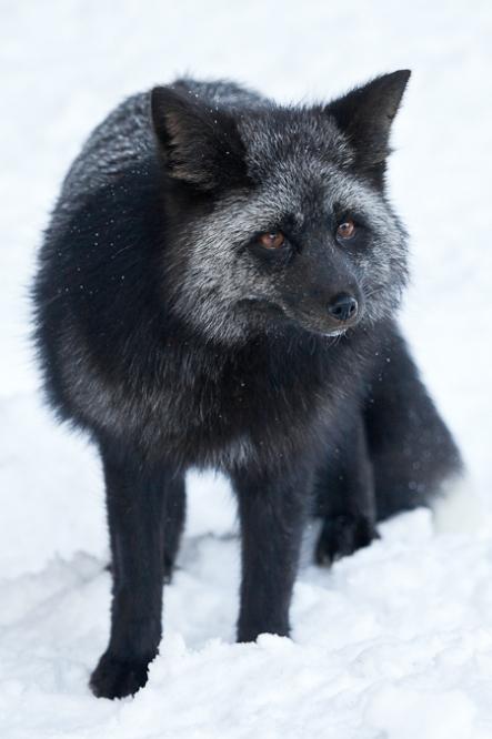 Silver Fox in Mount Rainier National Park